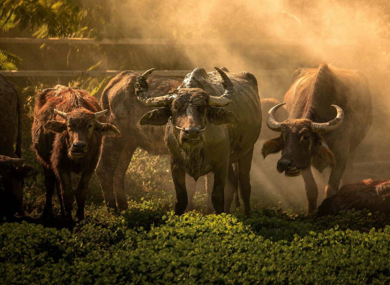sumbanese-buffalos