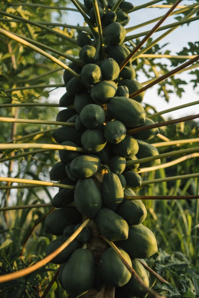 CapKaroso-papayas