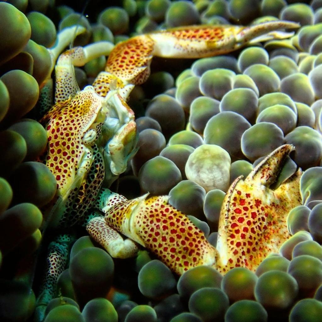 Sumba-crab